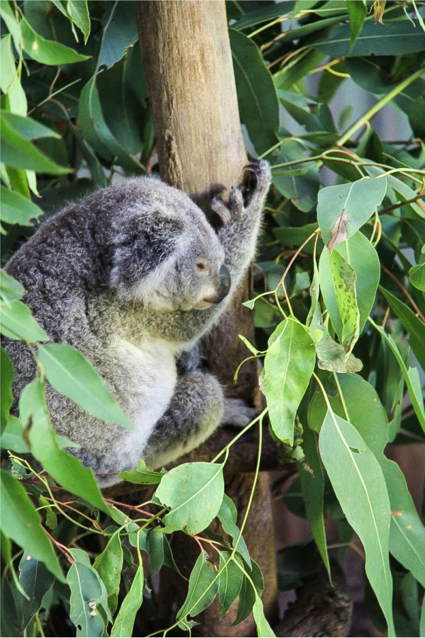 a koala in a tree at kuranda nature park