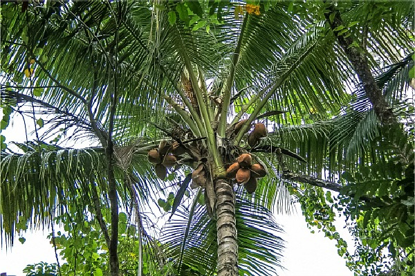 looking up at coconuts in a tree in queesland