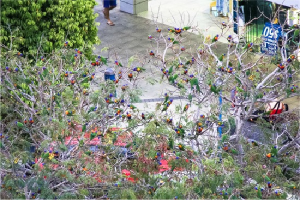 lorikeets in trees in cairns