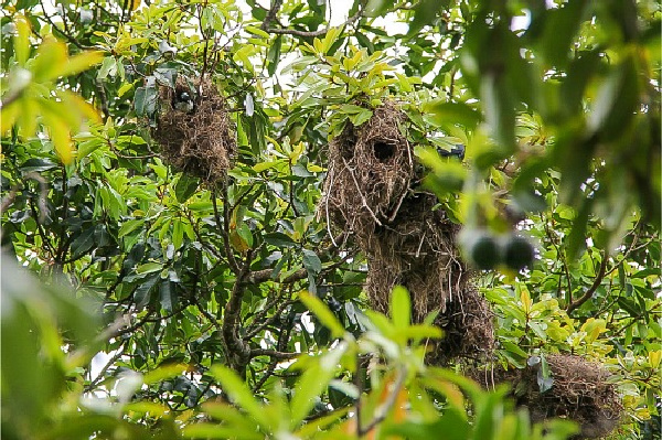 metallic starling communal nests in trees in the daintree rainforest
