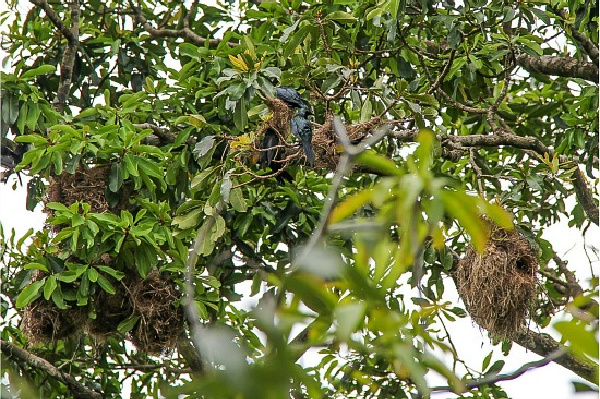 metallic starlings and their communal nests in trees