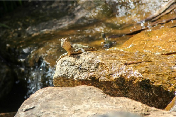 a reptile on a rock by a waterfall at kuranda