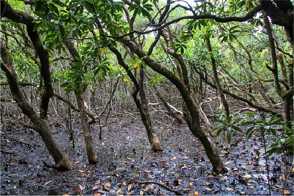 mangroves along the mangrove boardwalk in the daintree rainforest