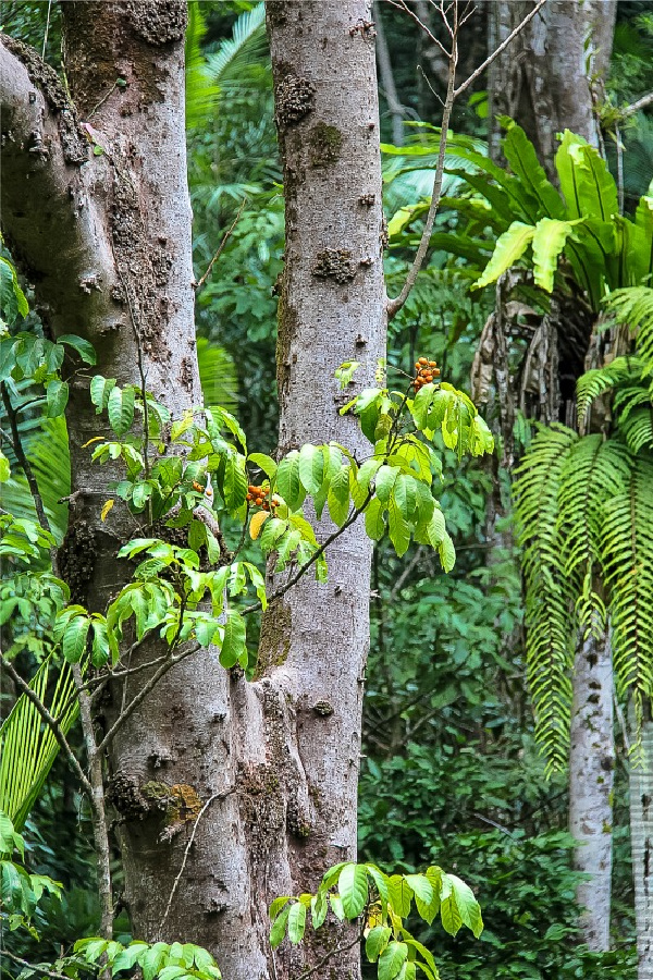 trees and ferns in the daintree rainforest