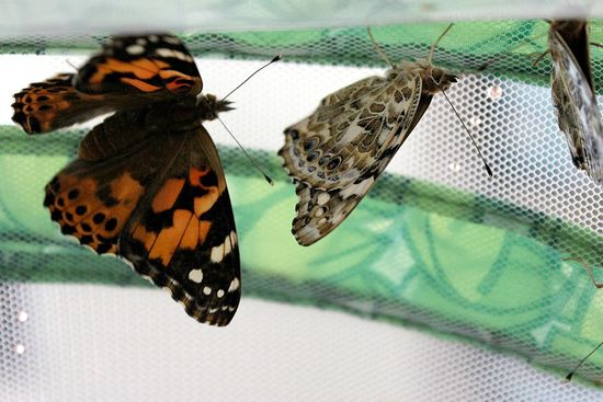 butterflies that have hatched inside a butterfly hatching kit