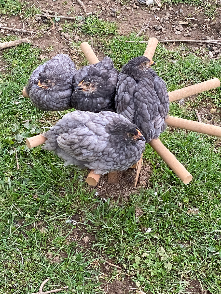 4 Sapphire Gem chickens roosting on a homemade wood perch.